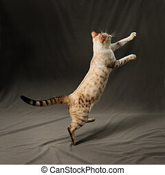 Bengal cat jumping - Portrait of snow spotted bengal cat...