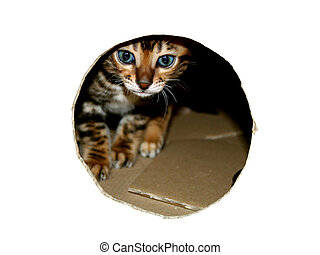 Bengal cat kitten head peeking through look hole of cardboard box