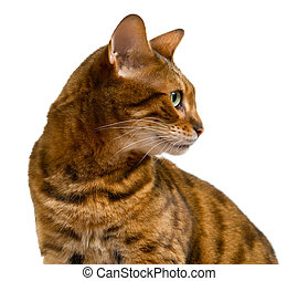 Bengal cat looking sideways in profile - Young bengal cat or...