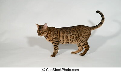 Bengal cat on a white background.