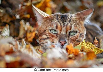 Bengal cat portrait. Close up, front view. - Bengal cat ...