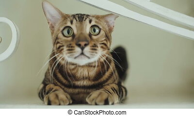 Bengal cat sits in front of the camera