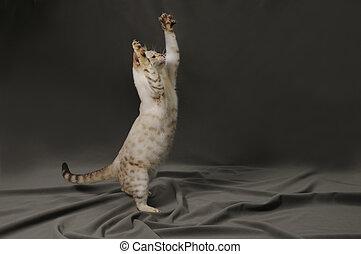 Bengal cat - Snow bengal cat standing to reach something