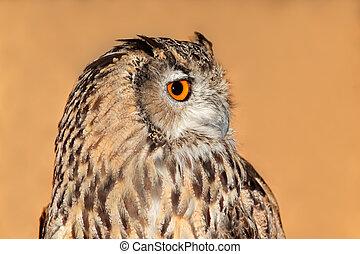 bengal, coruja águia