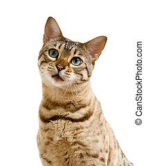 bengal, gato, olhar, com, pleitear, olhar fixo