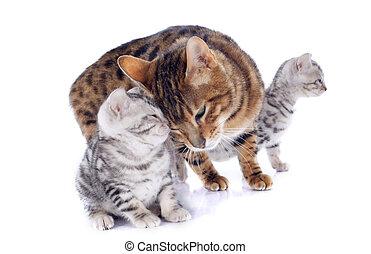 bengal, gatos, ternura