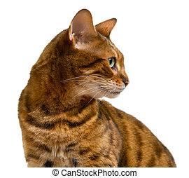 bengal, katt, titta i sidled, i profil