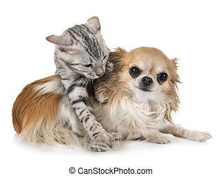 bengal kitten and chihuahua