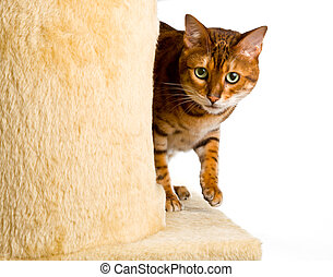 Golden colored bengal cat creeping around the side of wool covered climbing frame and peeping at the camera