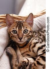 Bengal kitten in a basket