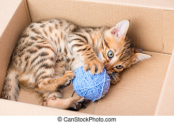 Bengal kitten in a cardboard box with a blue clew