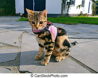 Bengal kitten on a leash in garden