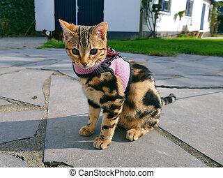 Bengal kitten on a leash in garden