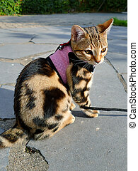 Bengal kitten practicing harness on a tangled leash