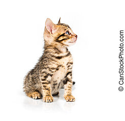 Bengal kitten with reflection on white