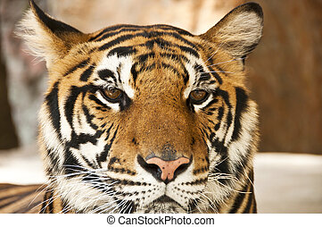 bengal, tiger.