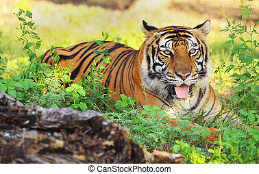Bengal Tiger - Bengal tiger in the grasses.