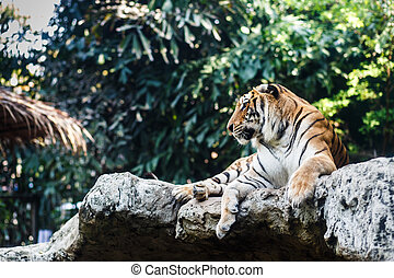Bengal Tiger by on the rock