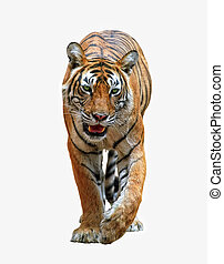 Bengal tiger - Isolated bengal tiger with clipping path