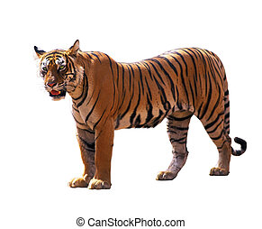 Bengal tiger isolated over white