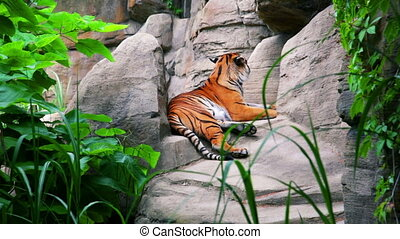 Bengal tiger lying and relaxing outdoors - Bright striped...