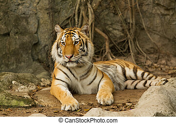 Bengal tiger lying on the rock