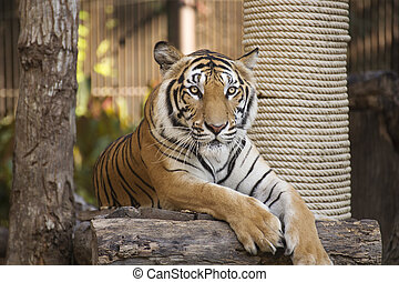 Bengal Tiger on wood resting