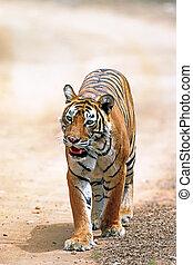 Bengal tiger (Panthera tigris) - Bengal tiger on the road, ...
