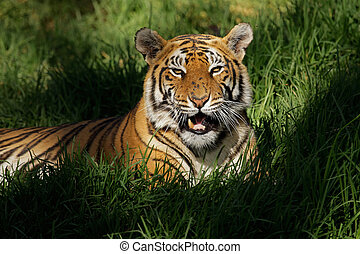 Bengal tiger (Panthera tigris bengalensis) laying in thick ...