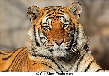 Bengal tiger portrait - Portrait of a Bengal tiger (Panthera...