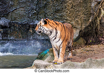 Bengal tiger standing on the rock near water
