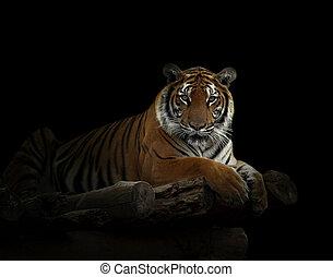 bengal tiger in the dark night