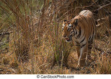 Bengal tiger turning left out of bushes