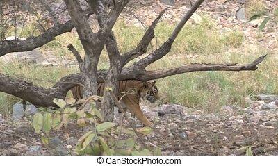 Bengal Tiger walking behind trees
