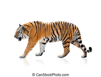 Bengal tiger walking, isolated over a white background