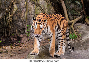 Bengal tiger walking on the rock