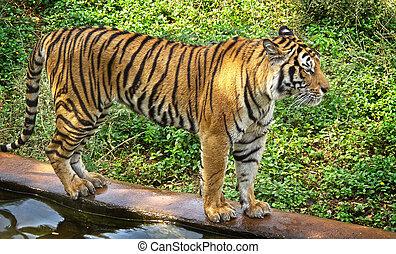 bengal tiger walking