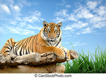 bengal tiger with blue sky