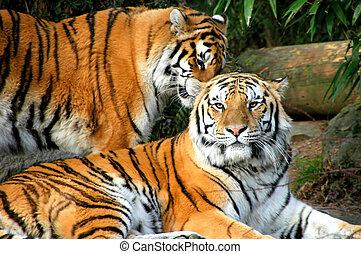 Bengal tigers.