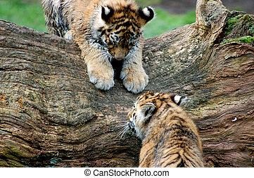Bengal tiger's cubs