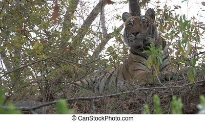 bengal tygrys