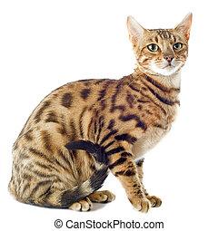 bengala, gato