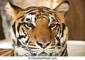 bengala, tiger.