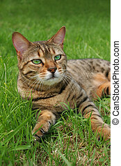 Bengali special breed cat relaxing in the grass.
