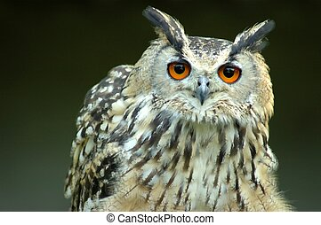 Bengali owl. - Bengali owl in captivity in a belgium zoo. ...