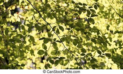 benjamin, tonalité, coloré, vent, feuilles, sépia, vert