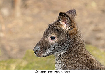 bennets, wallaby