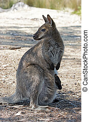 Bennett Wallaby, Australia - Bennett Wallaby with a joey in...