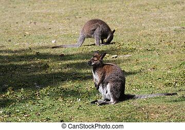 bennett, wallaby, canguru