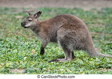 Bennett wallaby kangaroo - Bennett wallaby (macropus...